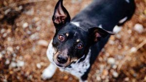 Rat Terrier Cheapest Dog