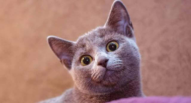 Russian Blue Cat With Big Eyes