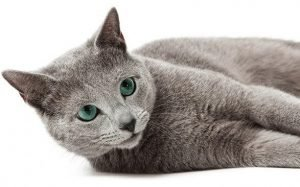 Russian Blue Cats That Dont Shed