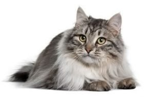 Siberian Cats That Dont Shed