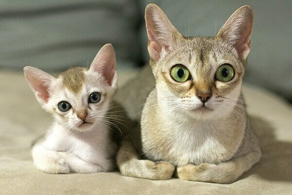 Singapura Cat With Big Eyes