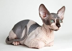 Sphynx Cats That Dont Shed