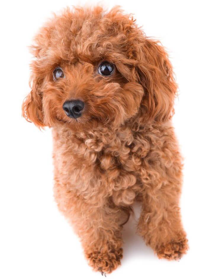 Teacup Poodle 6