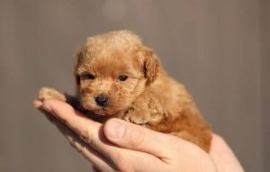 Teacup Poodle Puppy