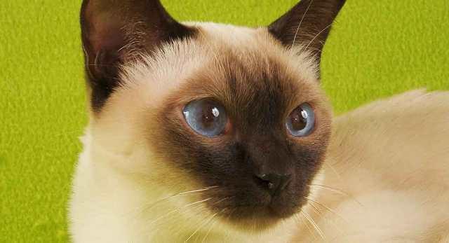 Tonkinese Cat With Big Eyes