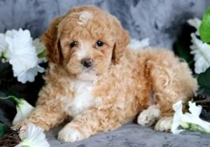 Toy Poodle 2