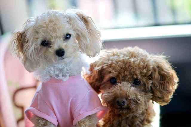 Toy Poodle 5