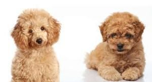 Toy Poodle Photograph 3