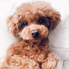 Toy Poodle Photograph 5