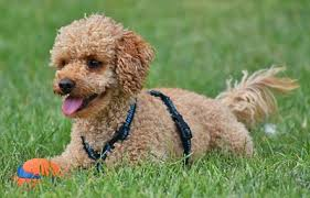 Toy Poodle Photograph 6