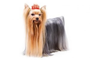 Yorkshire Terrier Cheap Dogs
