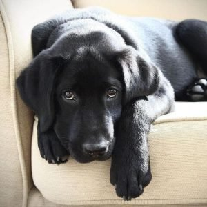 black dog breeds black labrador retriever