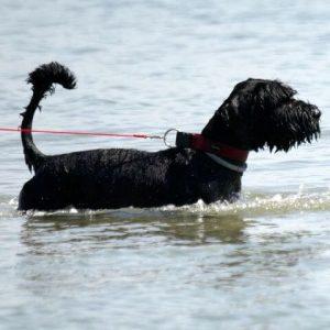 black dog breeds giant schnauzer