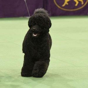 black dog breeds portuguese water dog