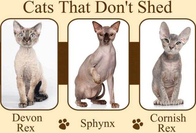 cat breeds that dont shed 1