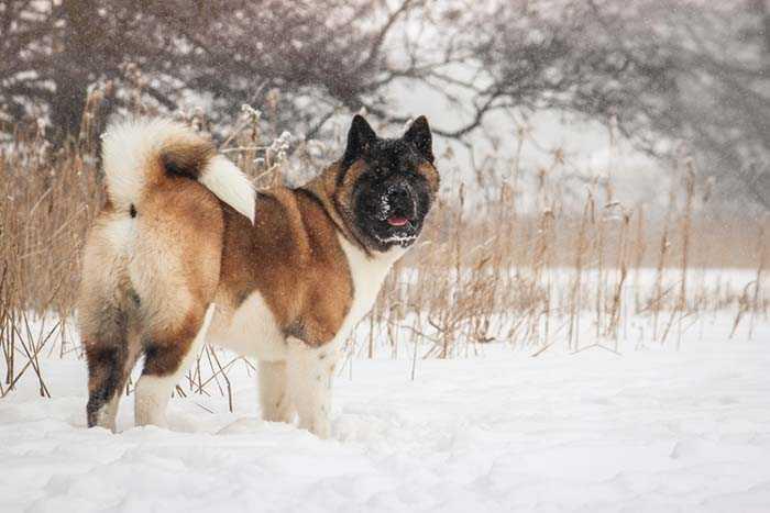 Fighting Dog breeds Akita