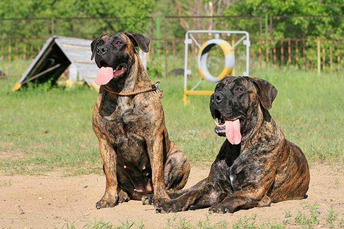 Fighting dog Breeds Boerboel