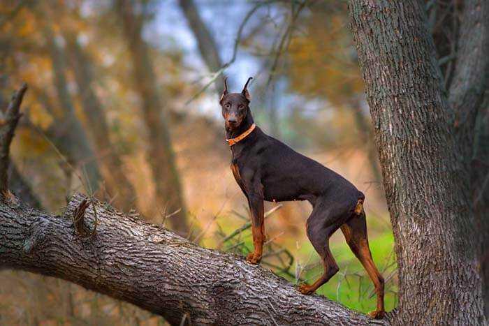 fighting dog breeds Doberman