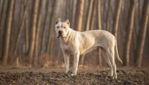 Fighting Dog Breeds Dogo Argentino