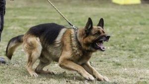 Fighting Dog Breeds German Shepherd