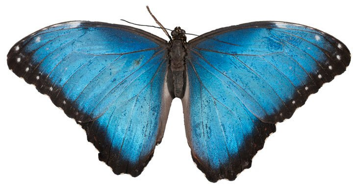 blue morpho butterfly 2