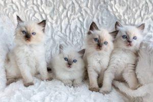 ragdoll kittens 1