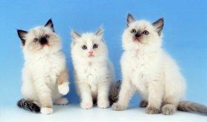 ragdoll kittens 2