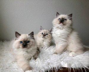ragdoll kittens 4