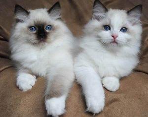 ragdoll kittens 5