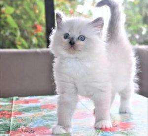 ragdoll kittens 6
