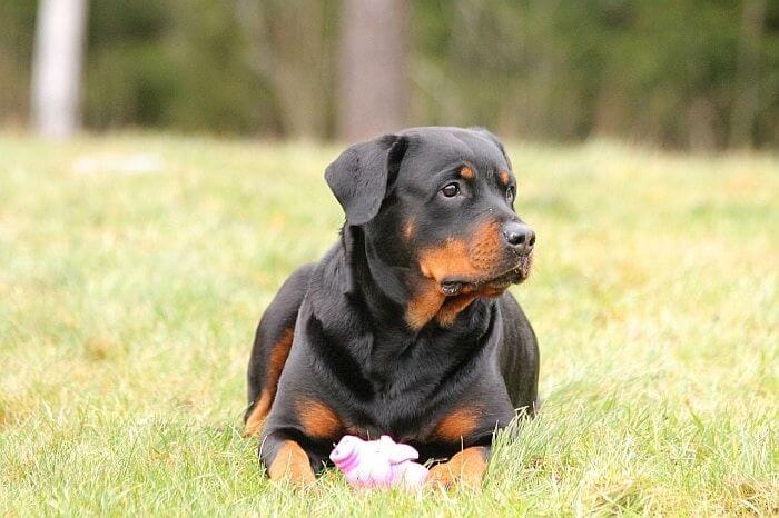 Rottweiler Black Dog