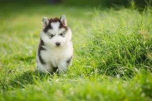 siberian husky cute puppies 300x200 1