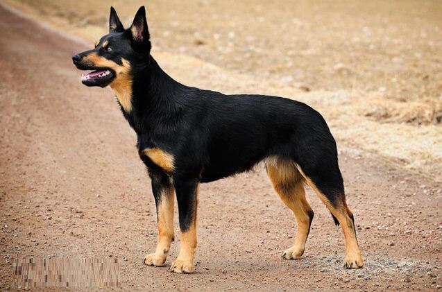 AUSTRALIAN KELPIE Short Haired Dogs
