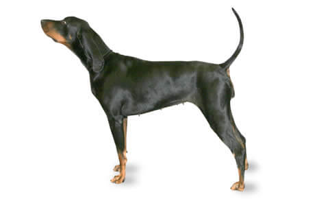 BLACK & TAN COONHOUND Short Haired Dog