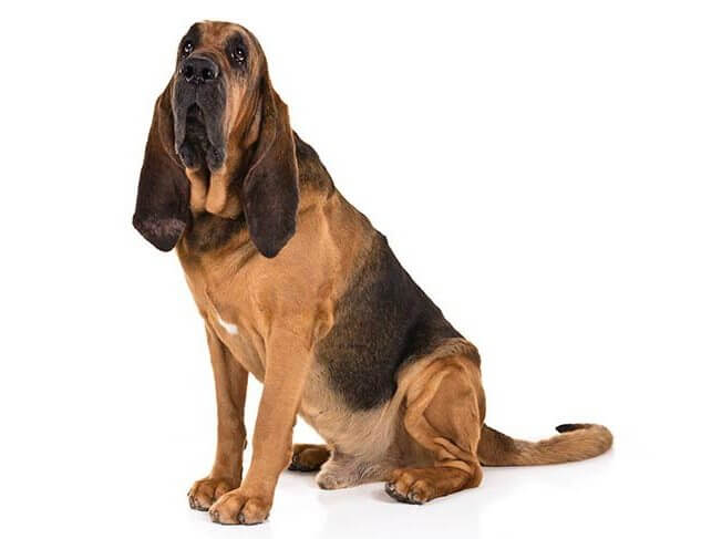 BLOODHOUND Short Haired Dogs