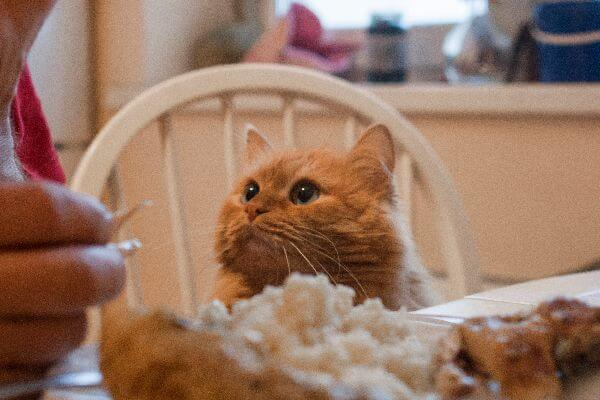 Can Cats Eat Raw Chicken 1