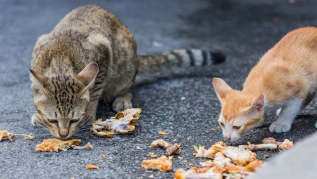 Can Cats Eat Raw Chicken 2
