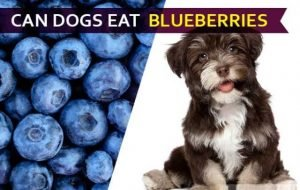 Can Dogs Eat Blueberries2