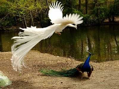 Can peacocks fly 6