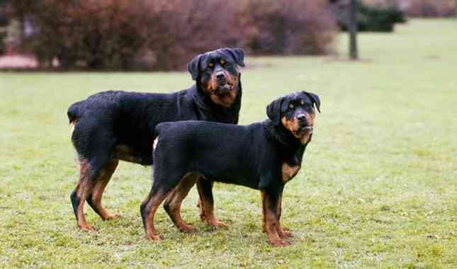 Do Rottweilers Shed 1