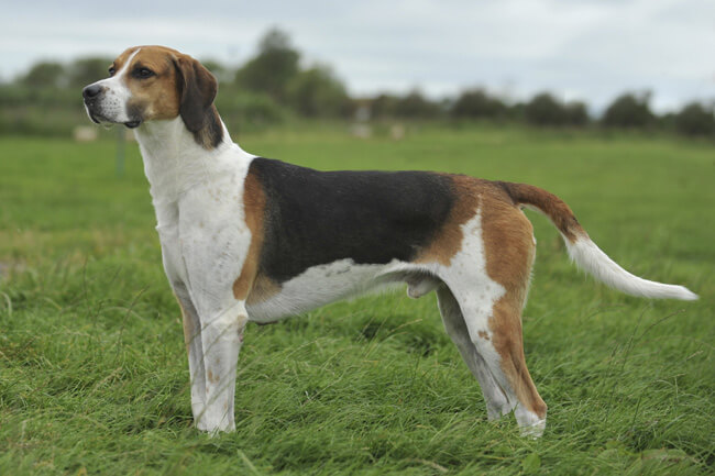 ENGLISH FOXHOUND Short Haired Dogs