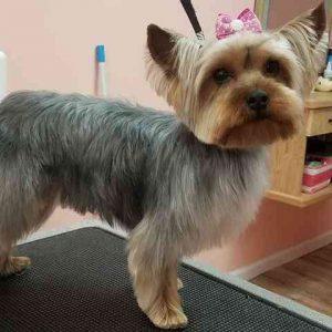 Fuzzy Yorkie Haircuts