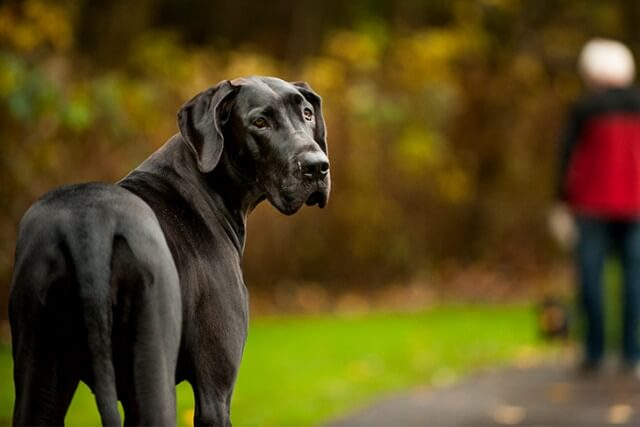 GREAT DANE Short Haired Dogs