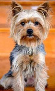 Indelicate Fur of Yorkie's Hairstyle