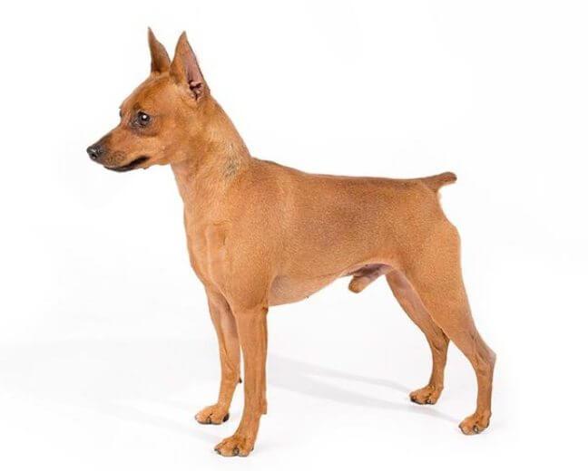 MINIATURE PINSCHER Short Haired Dogs