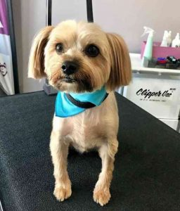 Neat Pony Haircuts of Yorkie