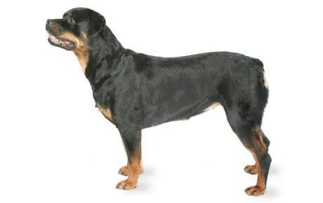 ROTTWEILER Short Haired Dog