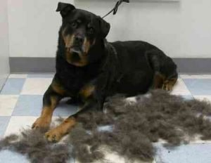 Rottweiler Shedding Too Much