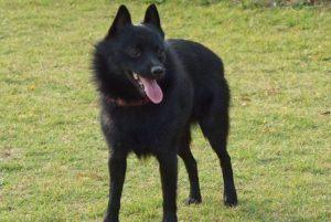 Schipperke black dog breed
