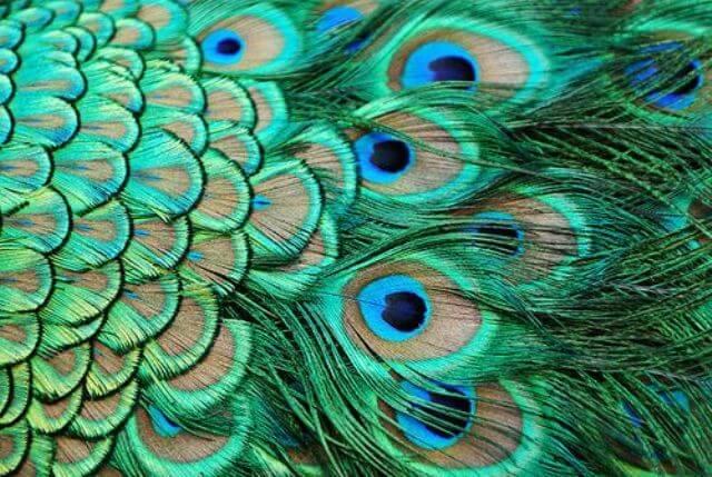 Secret Peacock Feather